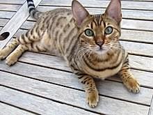 https://upload.wikimedia.org/wikipedia/commons/thumb/0/04/Bengal_cat_%288117203851%29.jpg/220px-Bengal_cat_%288117203851%29.jpg