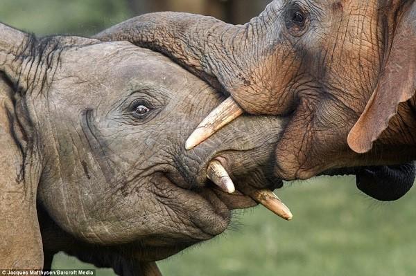 Tình bạn của những chú voi